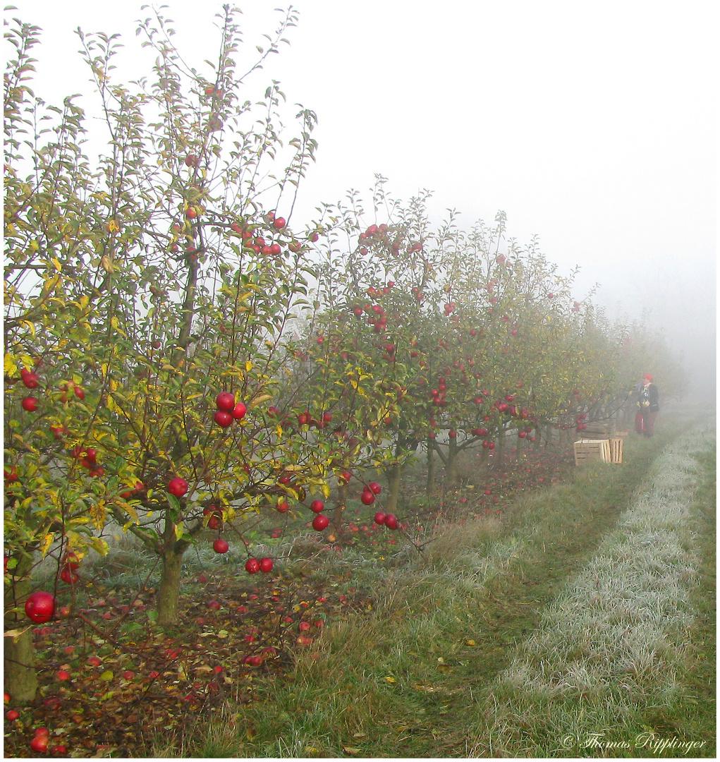 Die fast letzten Äpfel un der erste Frost...