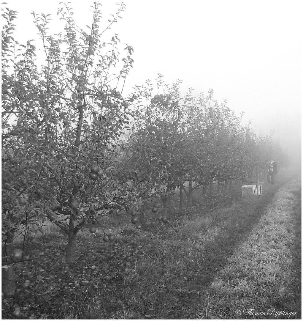 Die fast letzten Äpfel un der erste Frost... sw