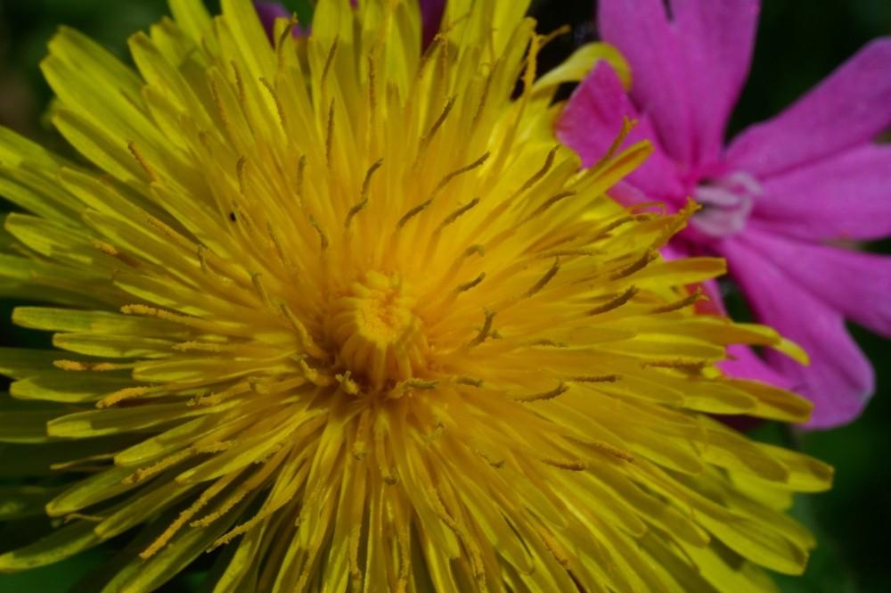 die Faszination unserer schwäbischen Wiesenchrysantheme