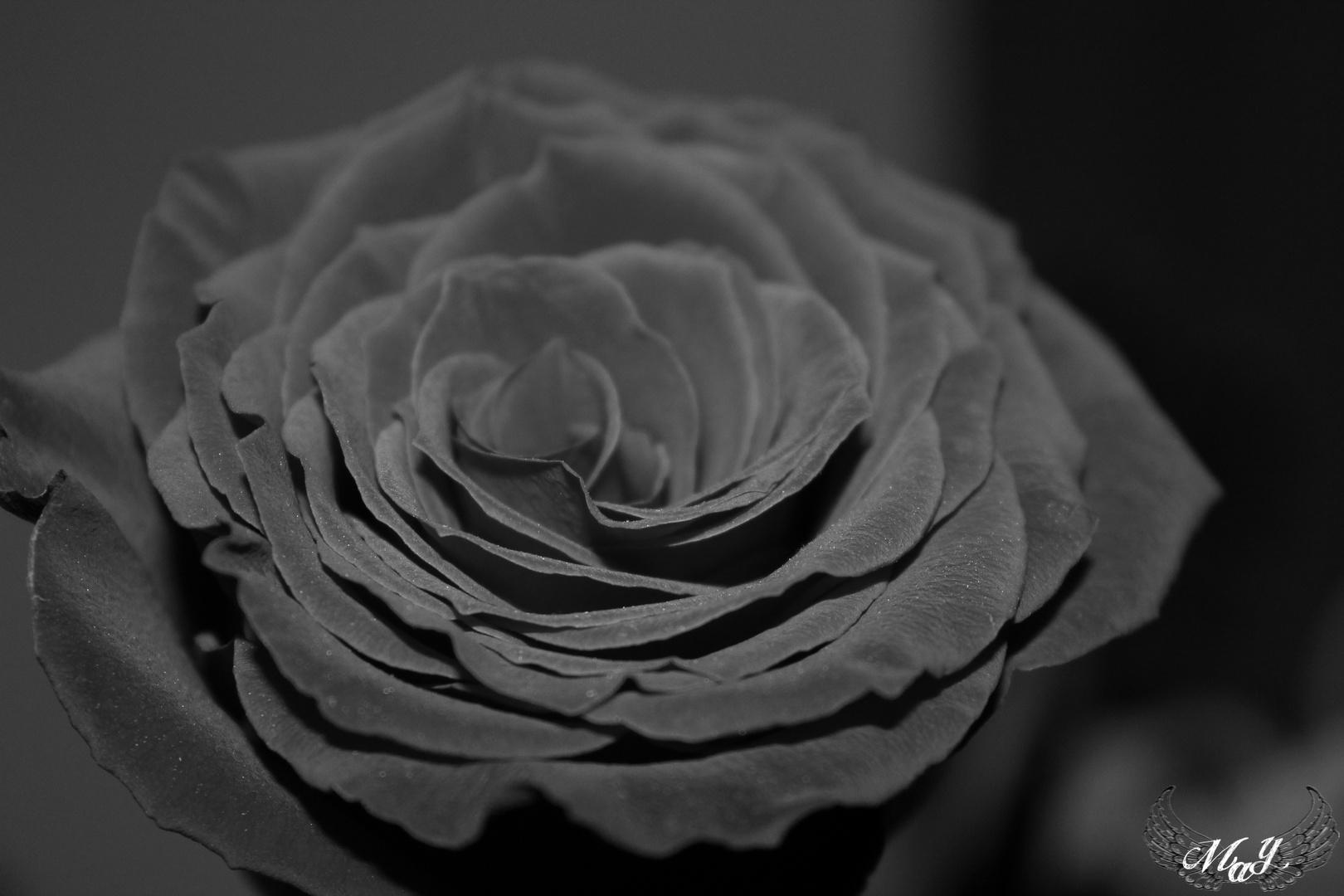 Die feine Haut einer Rose