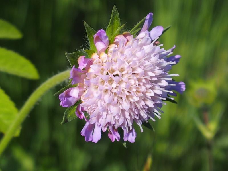 Die Feld-Witwenblume 'Knautia arvensis'