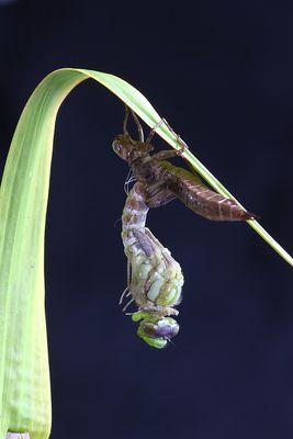 Die fertige Libelle...