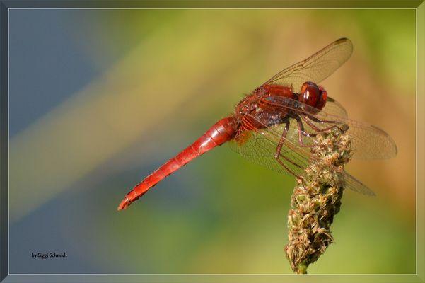 Die Feuerlibelle / La libellule ecarlate