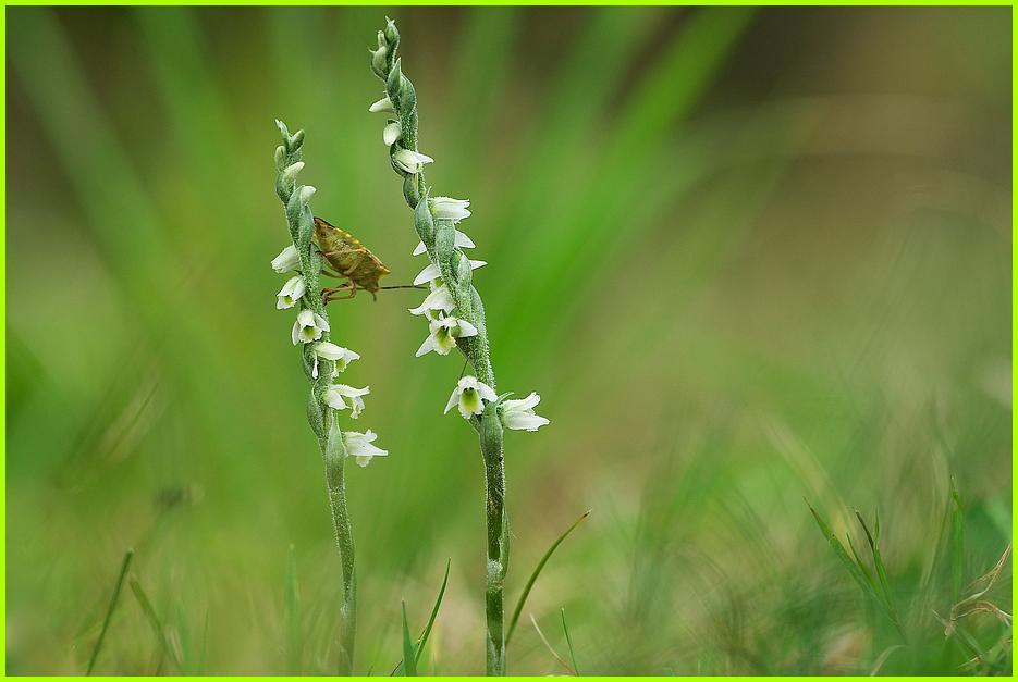 Die fingerlangen Stengel der Herbst-Drehwurz mit ihren winzigen Blütchen