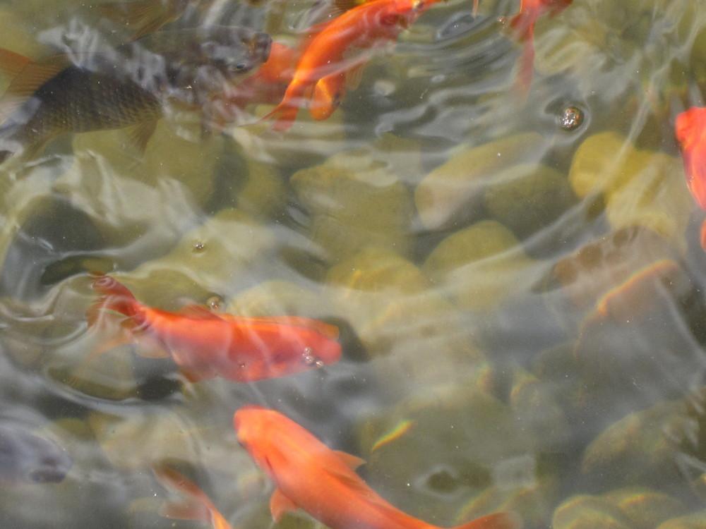 Die Fischlein in dem Wasser...