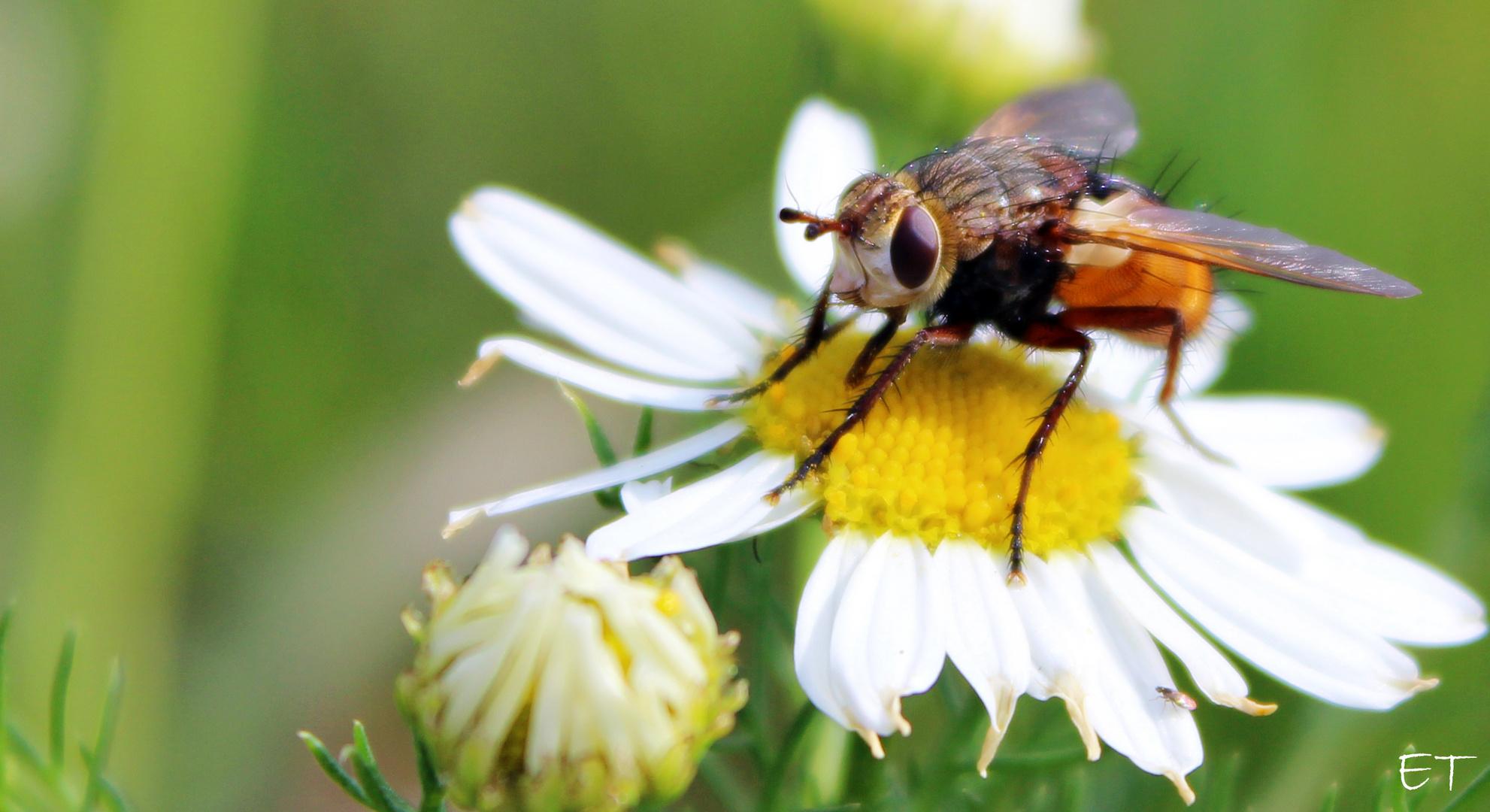 Die Fliege