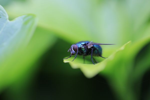 Die Fliege...