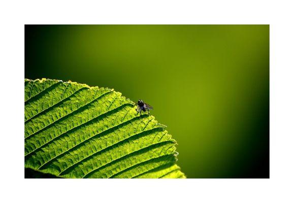 Die Fliege auf dem grünen Blatt