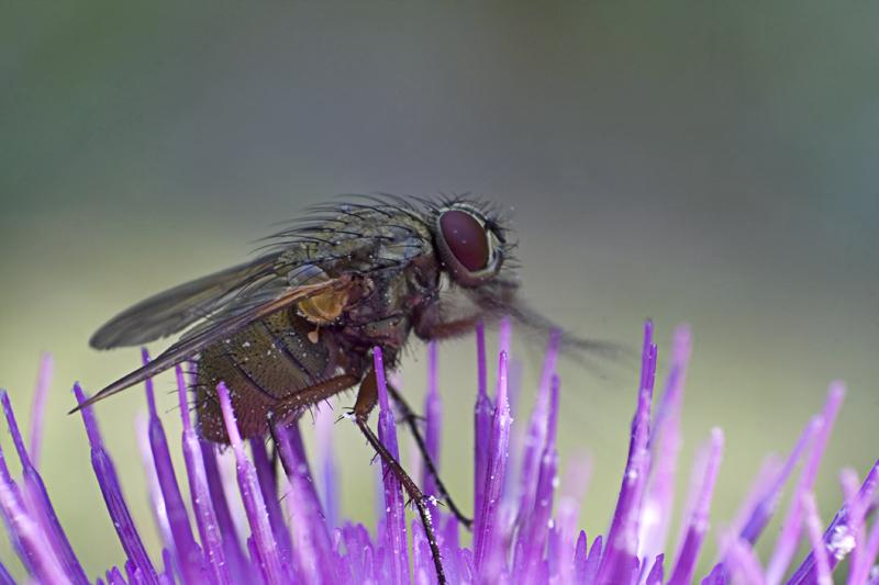 Die Fliege (Brachycera)