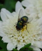 ...die Fliege...