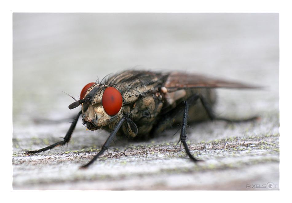 - die Fliege -
