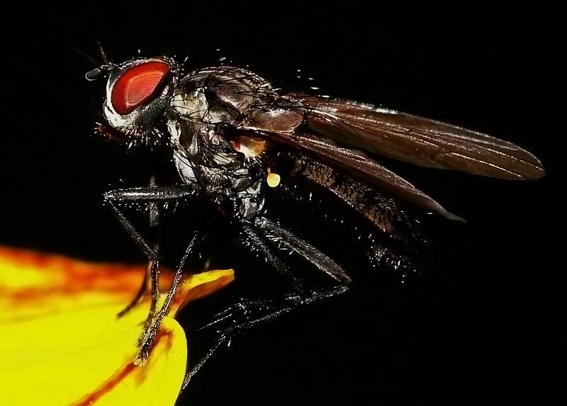 Die Fliege II