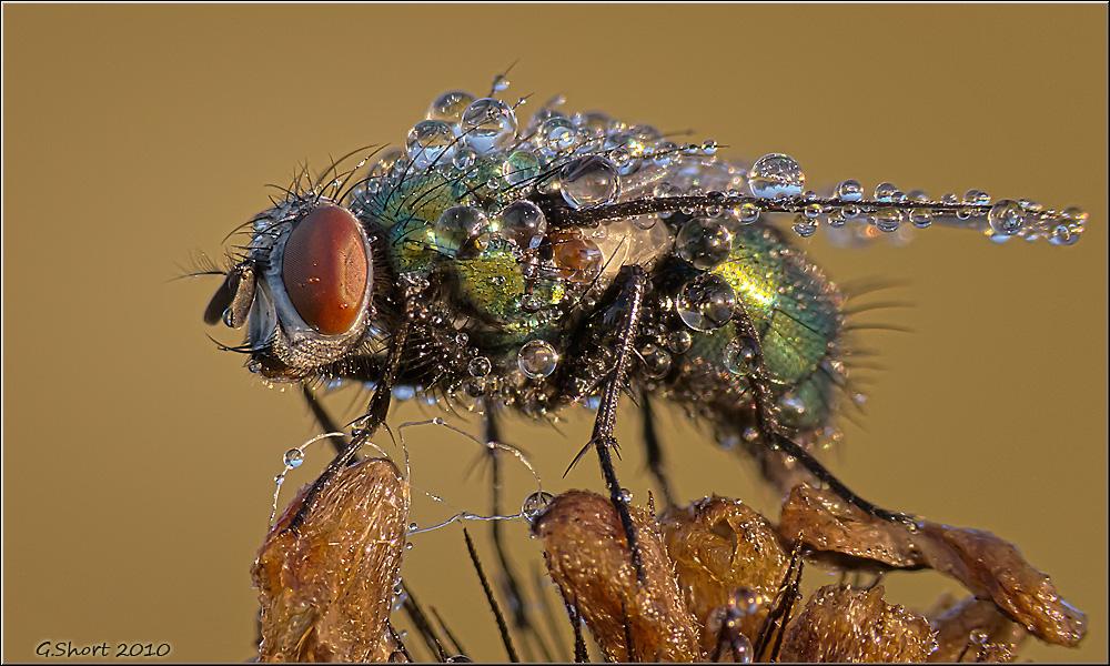 Die Fliege im Morgenkleid :)