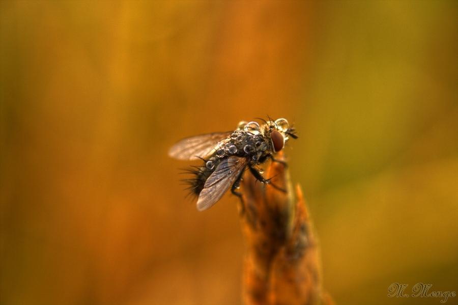 Die Fliege im Morgentau