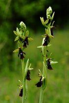 """Die """"Fliege"""" Ophrys insectifera"""