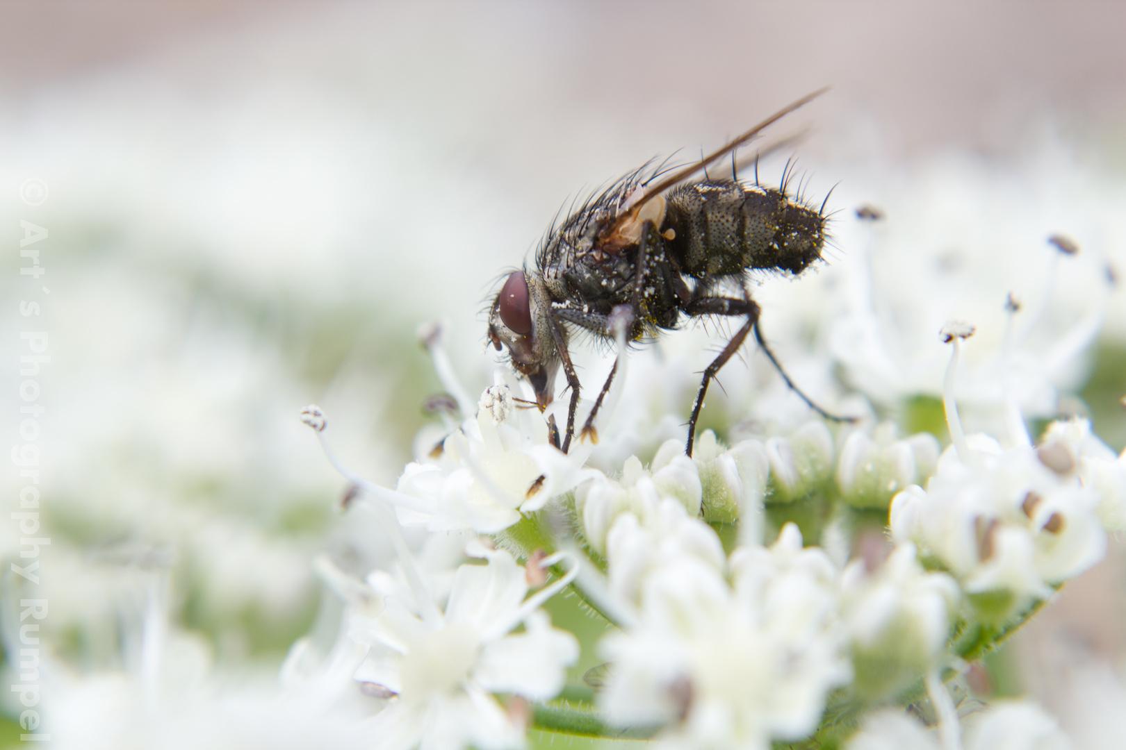 Die Fliege sucht