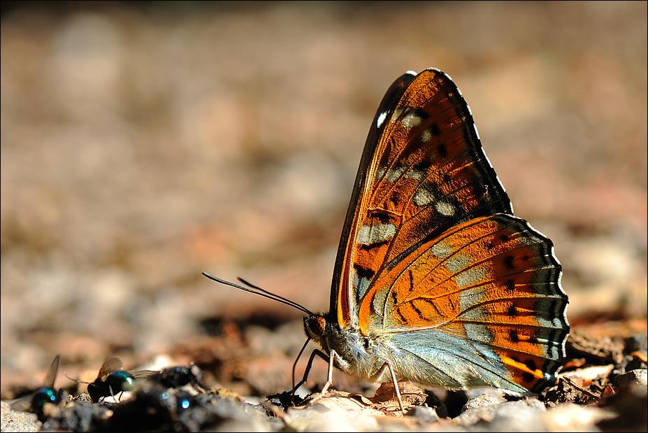 Die Fliege und der Schmetterling ( Achtzeiler )