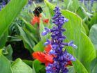 Die fliegende  Hummel auf dem Weg zur Blüte