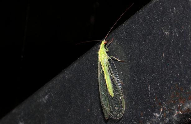 "die ""Florfliege' (Chrysopidae) oder auch 'Goldauge'..."