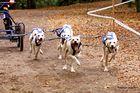 Die Formel 1 der Schlittenhunde