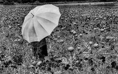 Die Frau mit dem Regenschirm; erinnert sich an einen Tag im Artischockenfeld mit Mohnblumen  (23)