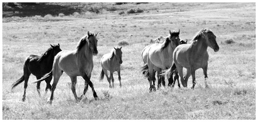 die freien Mustangs