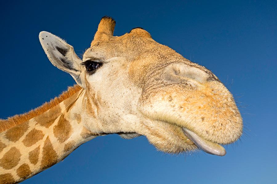 Die freundliche Giraffe