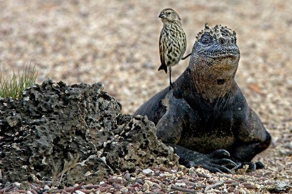 Die Freundschaft zwischen einer Meerechse und einem Fink