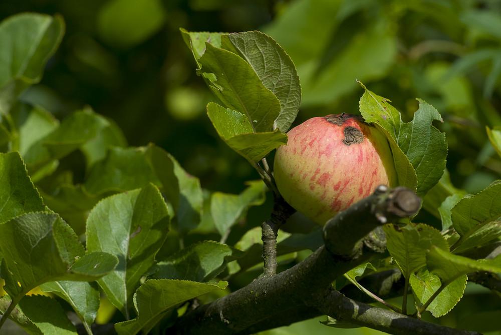 Die Frucht