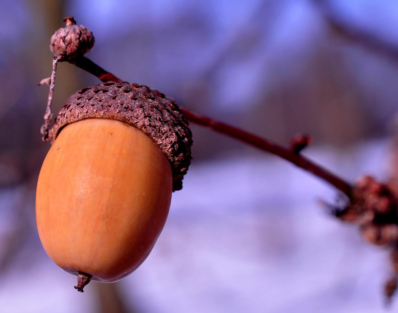 .Die Frucht der Eiche.