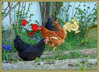 Die Frühlingshühner und der falsche Hahn