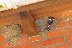 Die Fütterung der Nestlinge ist purer Stress für die Vogeleltern