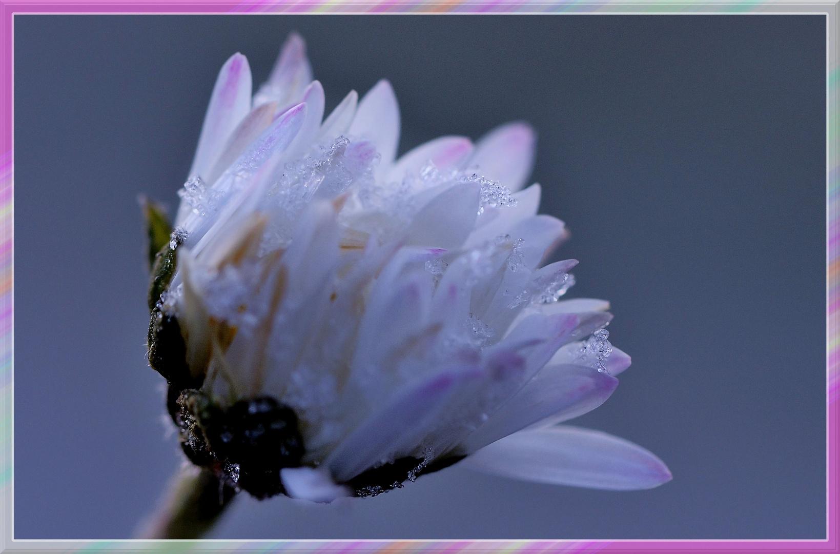 Die Gänseblümchen .....