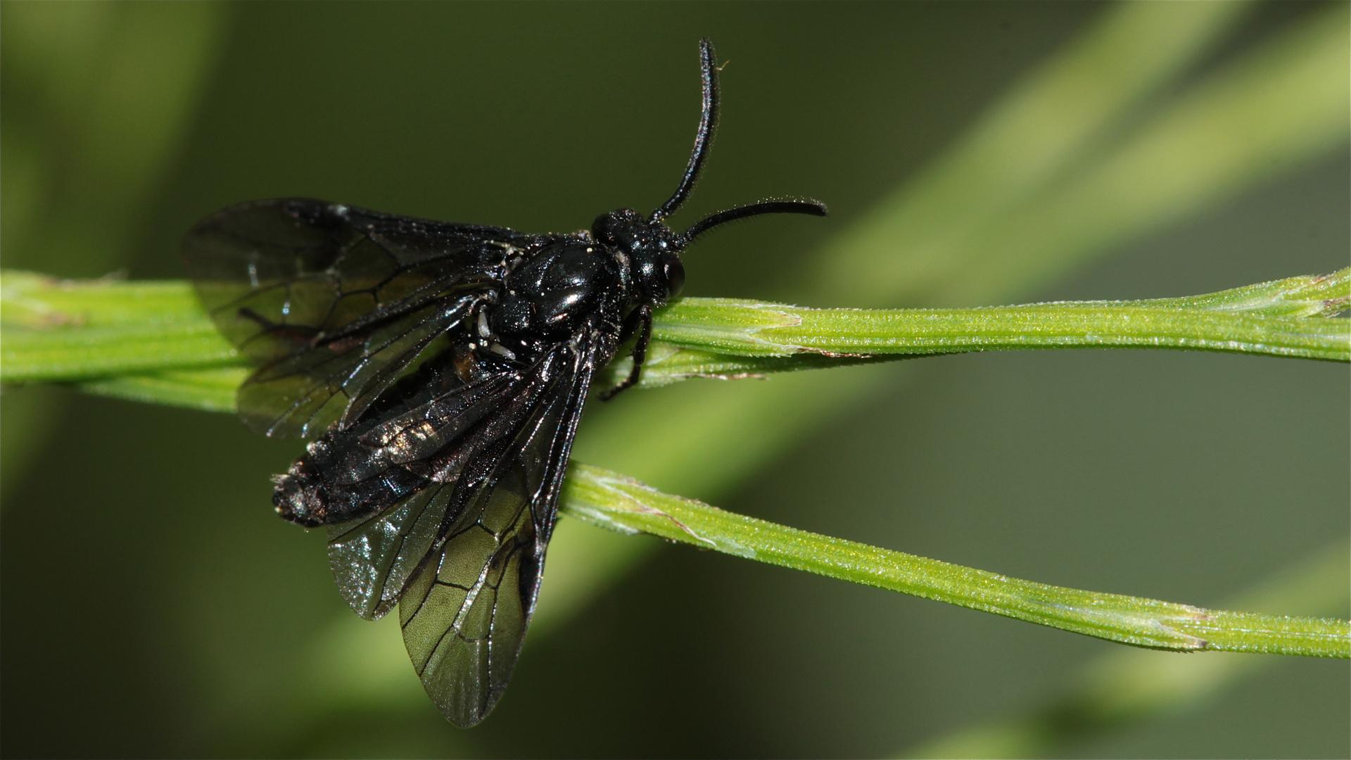 Die ganz schwarze, blauschillernde Salomonsiegel-Blattwespe (Phymatocera aterrima) - 4.5.15 bestimmt