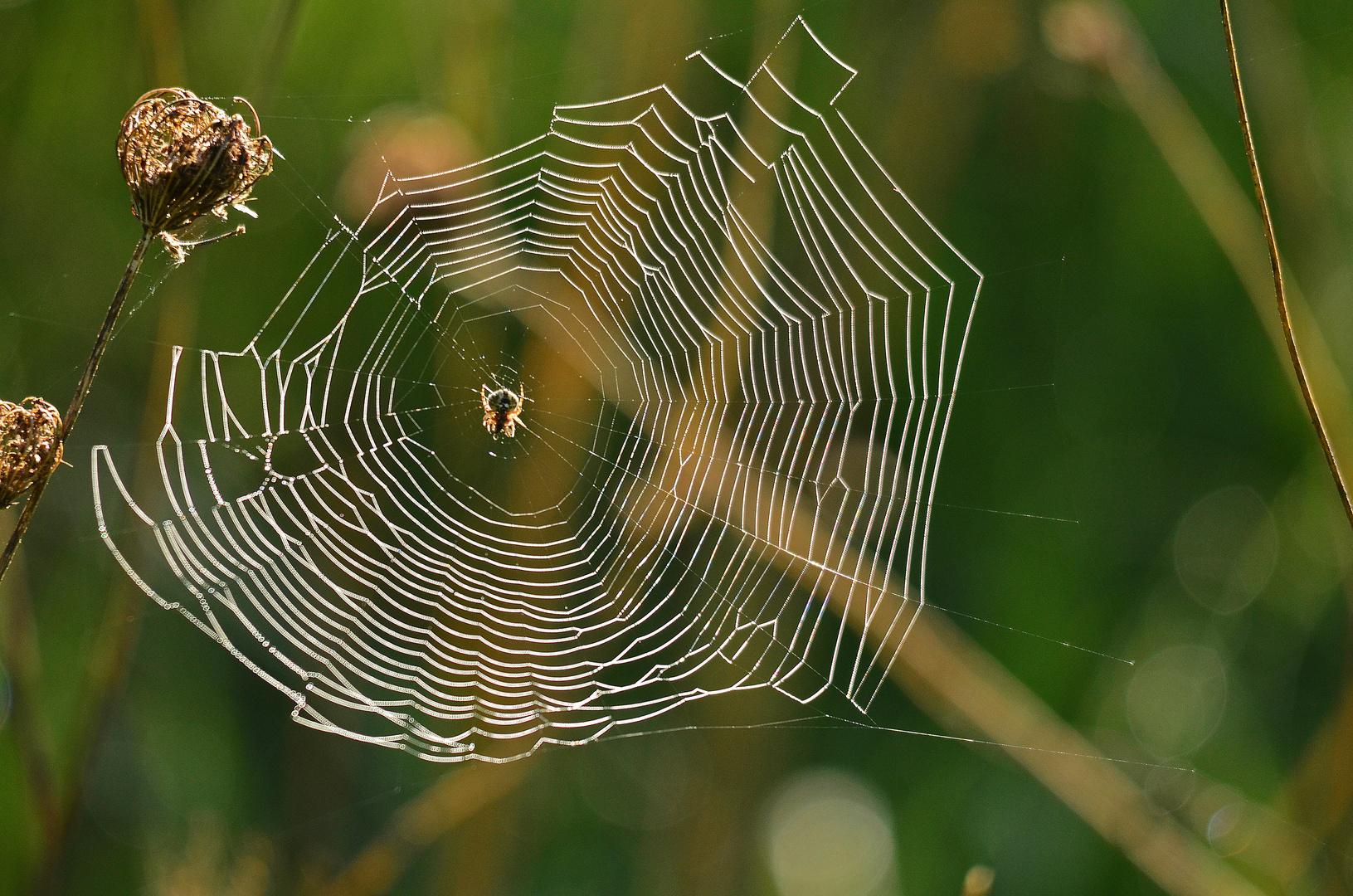 Die Garten-Kreuzspinne in ihrem Netz
