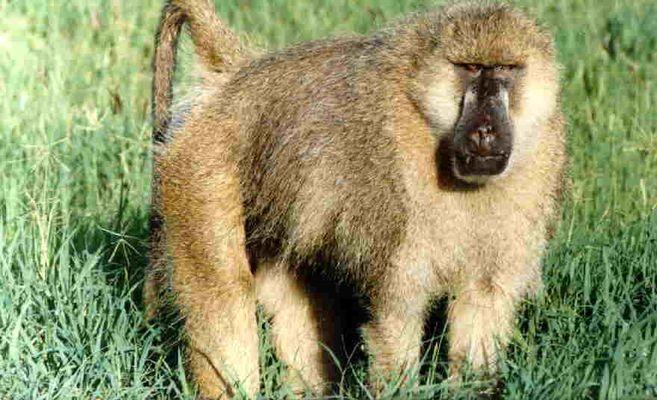Die Gattung der Paviane (Papio) ....
