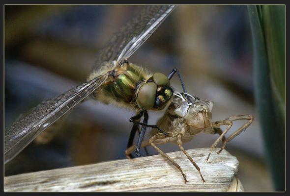 die Geburt der ersten Libellen....
