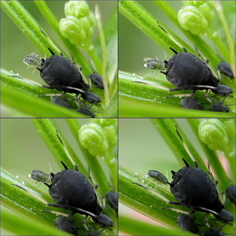 Die Geburt einer Blattlaus..
