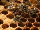 Die Geburt einer Honigbiene