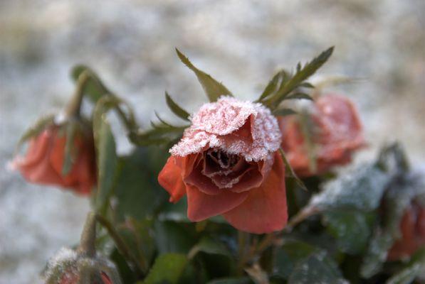 Die gefrorene Rose:)