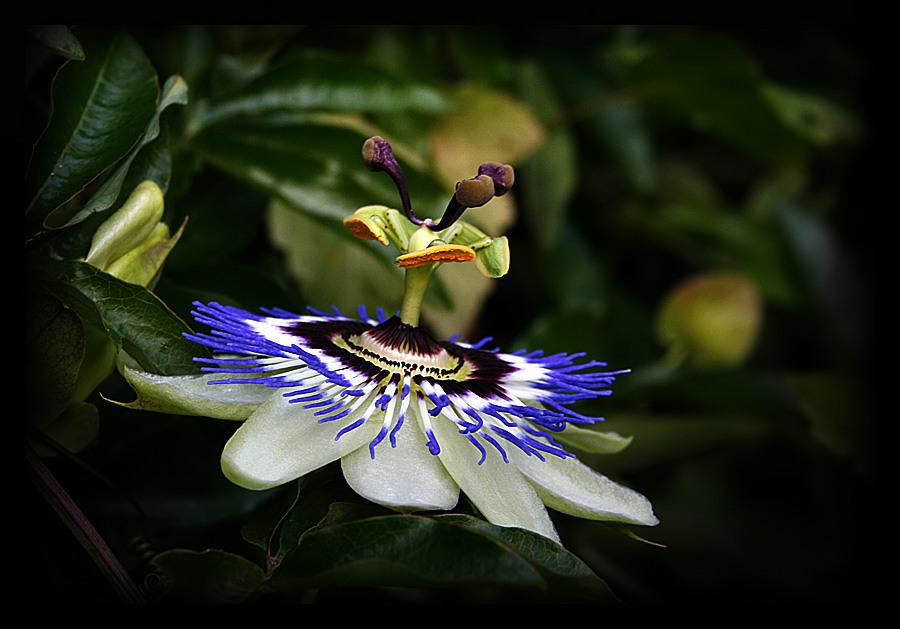 Die gekrönte Blüte