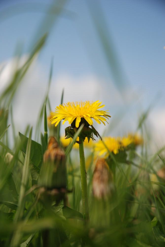 Die gelbe Blüte
