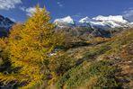 Die gelbe Lärche am Bernina