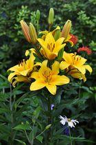 Die gelbe Lilie