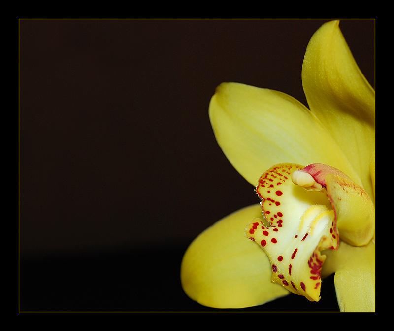 Die gelbe Orchidee
