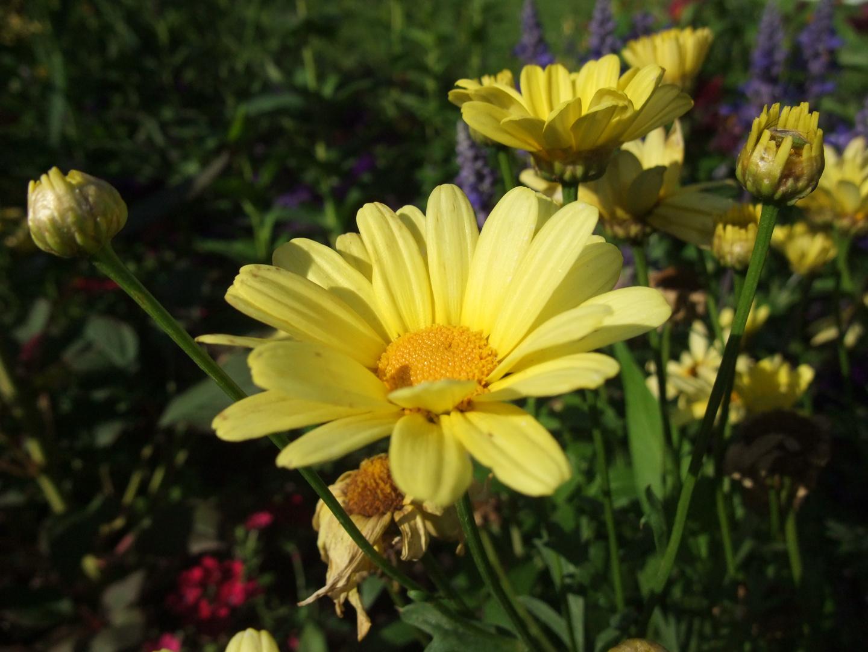 Die Gelbe Pracht