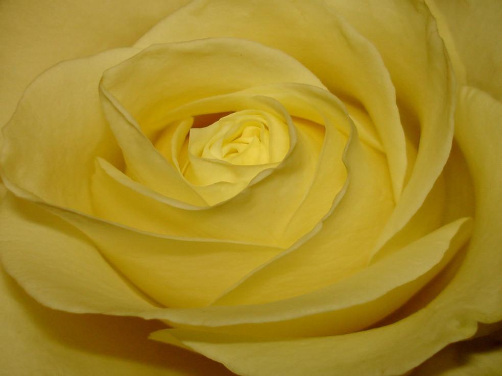 Die gelbe Rose 3
