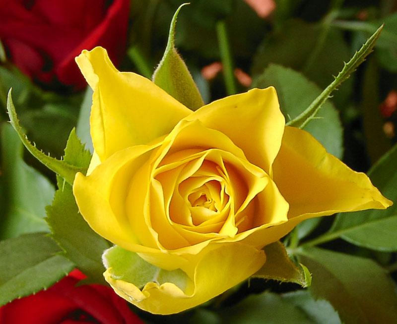""""""" Die gelbe Rose"""""""