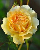 Die gelbe Rose