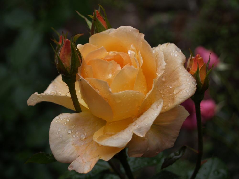 Die gelbe Rose im Regen